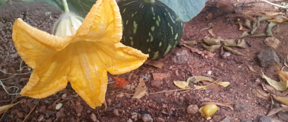 My pumpkin patch - article for the hindu- metroplus section
