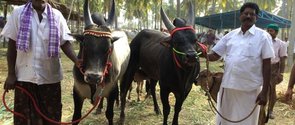 The Kongunadu Livestock Festival