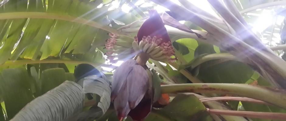 Banana flower (Vazhaipoo)