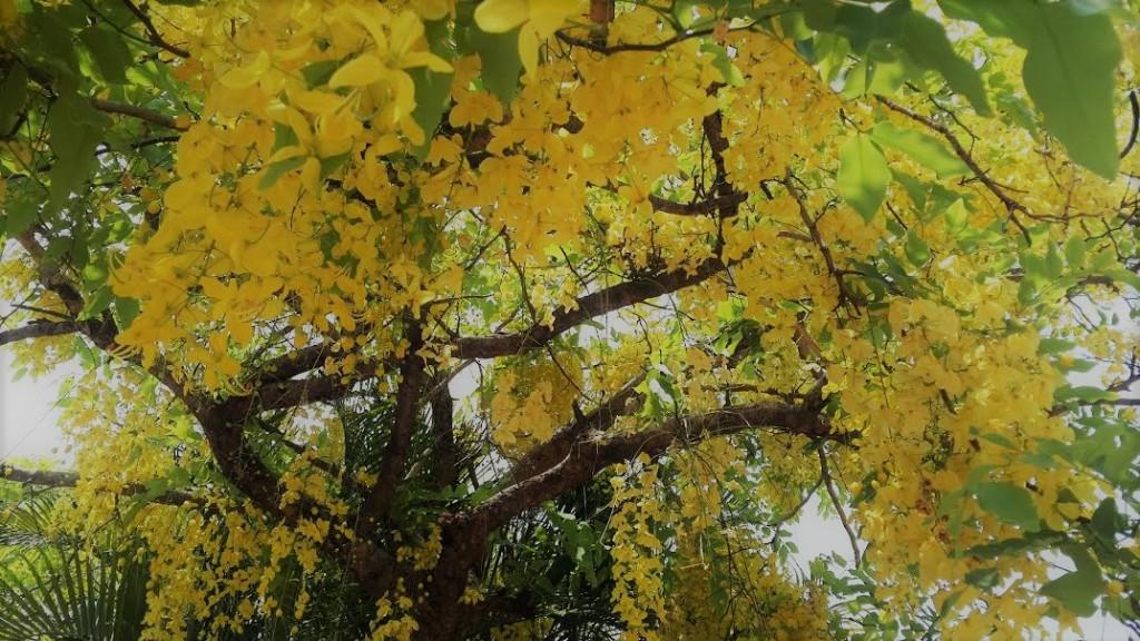 Konnapoo Cassia fistula tree edit