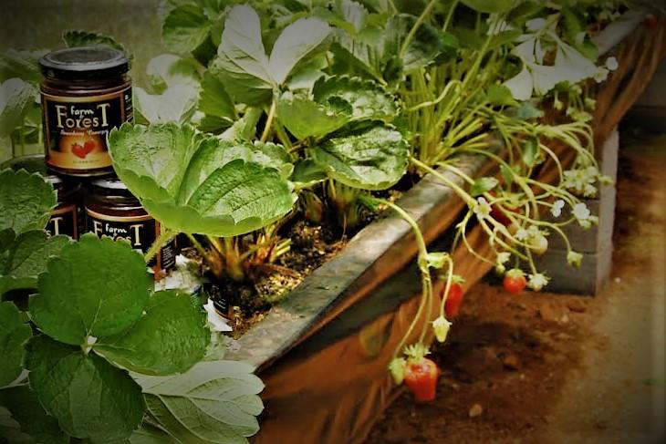 Strawberry farm Veena+