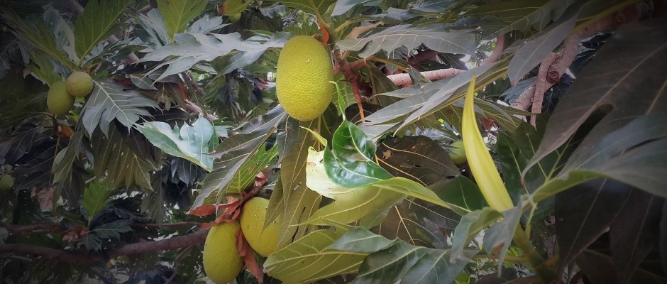 Karipala (Bread fruit)