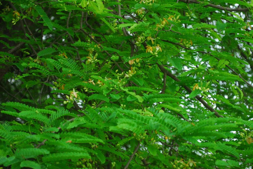 Tamarind leaf images (23)